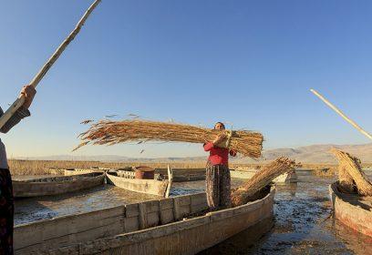 Photographie de femmes dans des chaloupes ramassant des céréales.