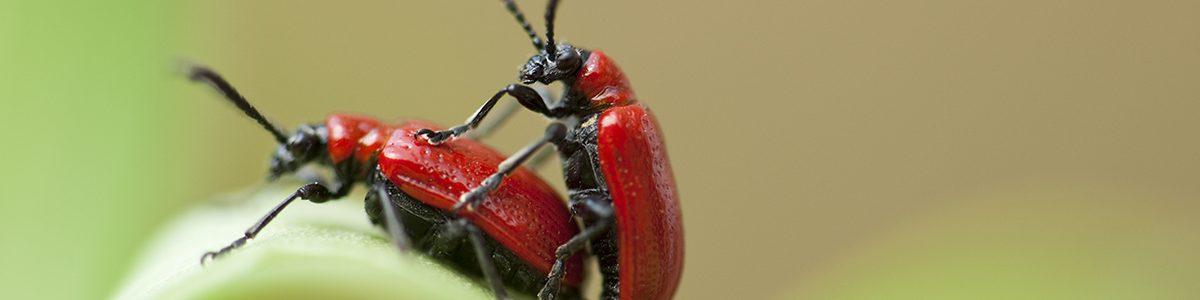 Copulation entre deux coléoptères.